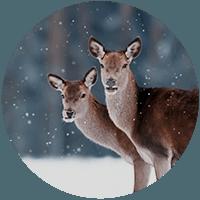 Deer thumbnail