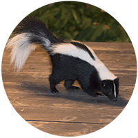 Skunk thumbnail