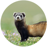 Photo of weasel standing in grass