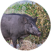 Wild Hog - Wild Boar standing in tall grass