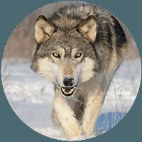 Wolf thumbnail