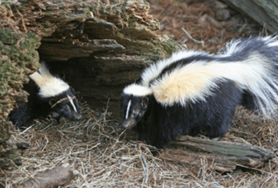 Find Out How You Can Keep Skunks Away from Your House thumbnail