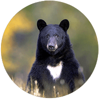 Black bear with a foliage background