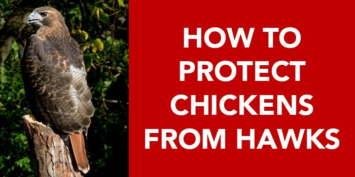 How to Protect Chickens from Hawks | Nite Guard