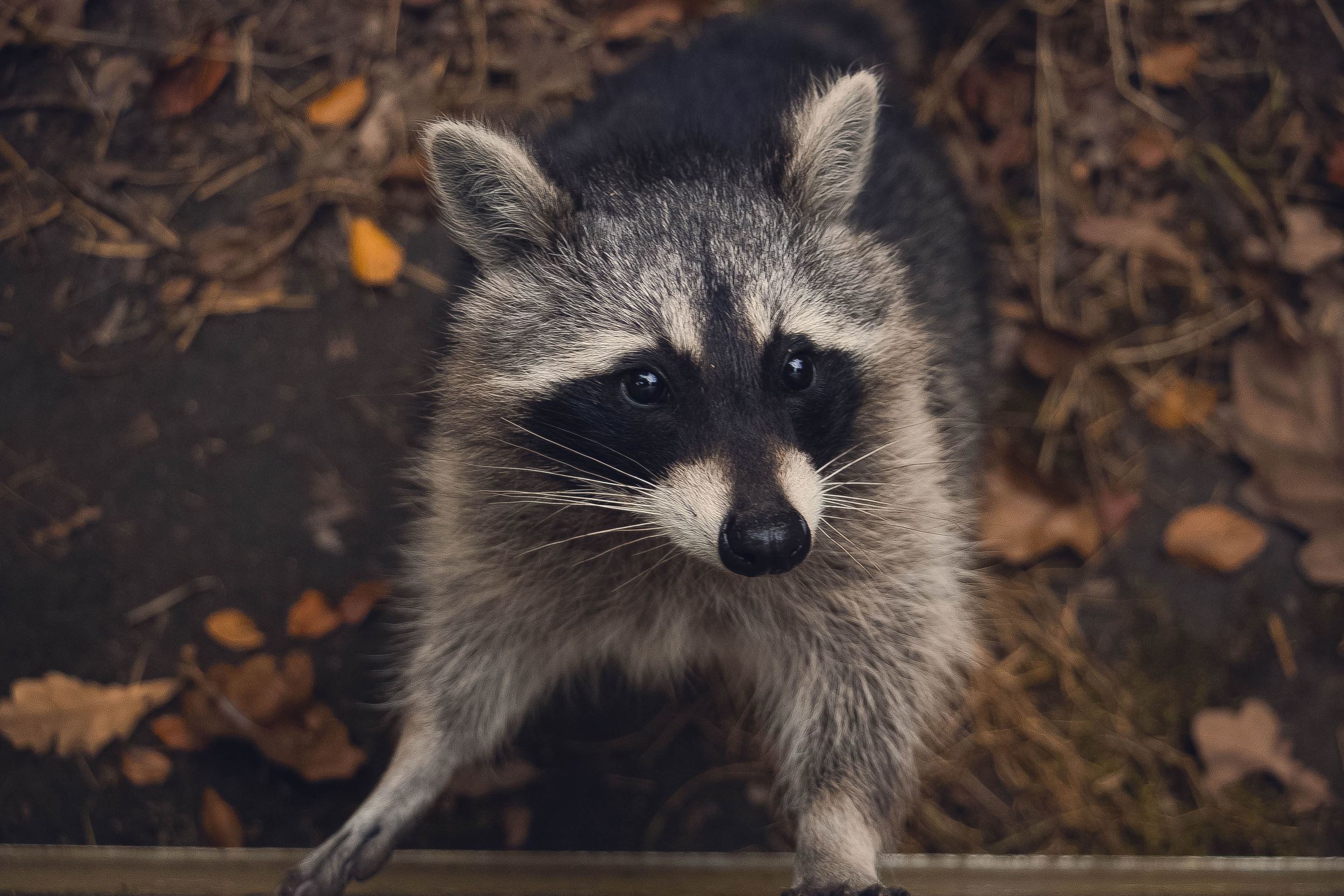 Startled Raccoon