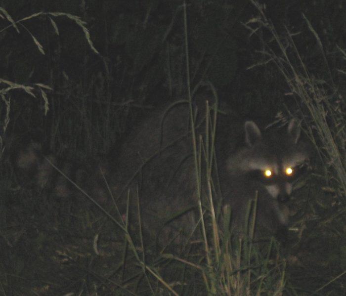 Predator eyes glowing in the dark