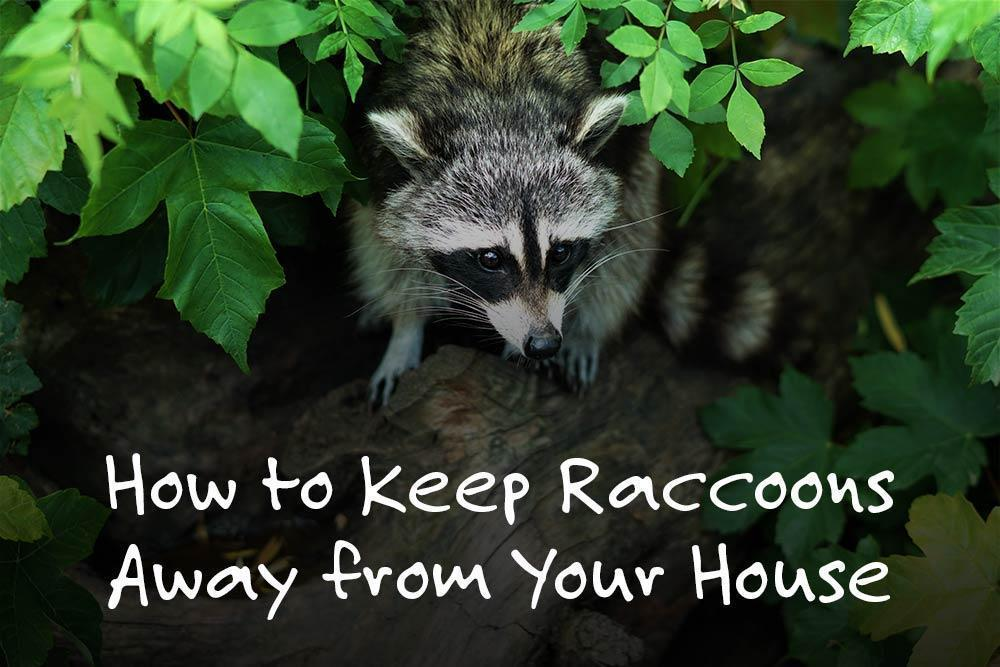 Raccoons in Foliage with title text: How to Keep Raccoons Away from Your House