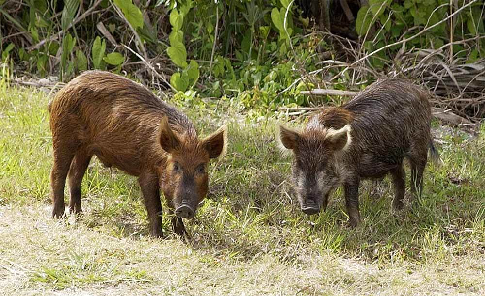 Wild Hogs Tearing Up Grass