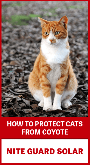 Cat with text: How to Protect Cats from Coyote with Nite Guard Solar
