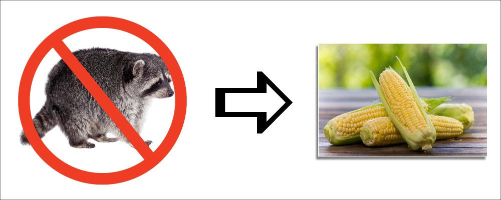 5 Best Tips on How to Keep Raccoon Out of Your Sweet Corn