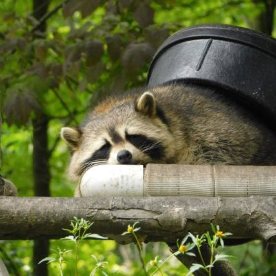 Three Tips on How to Deter Raccoons