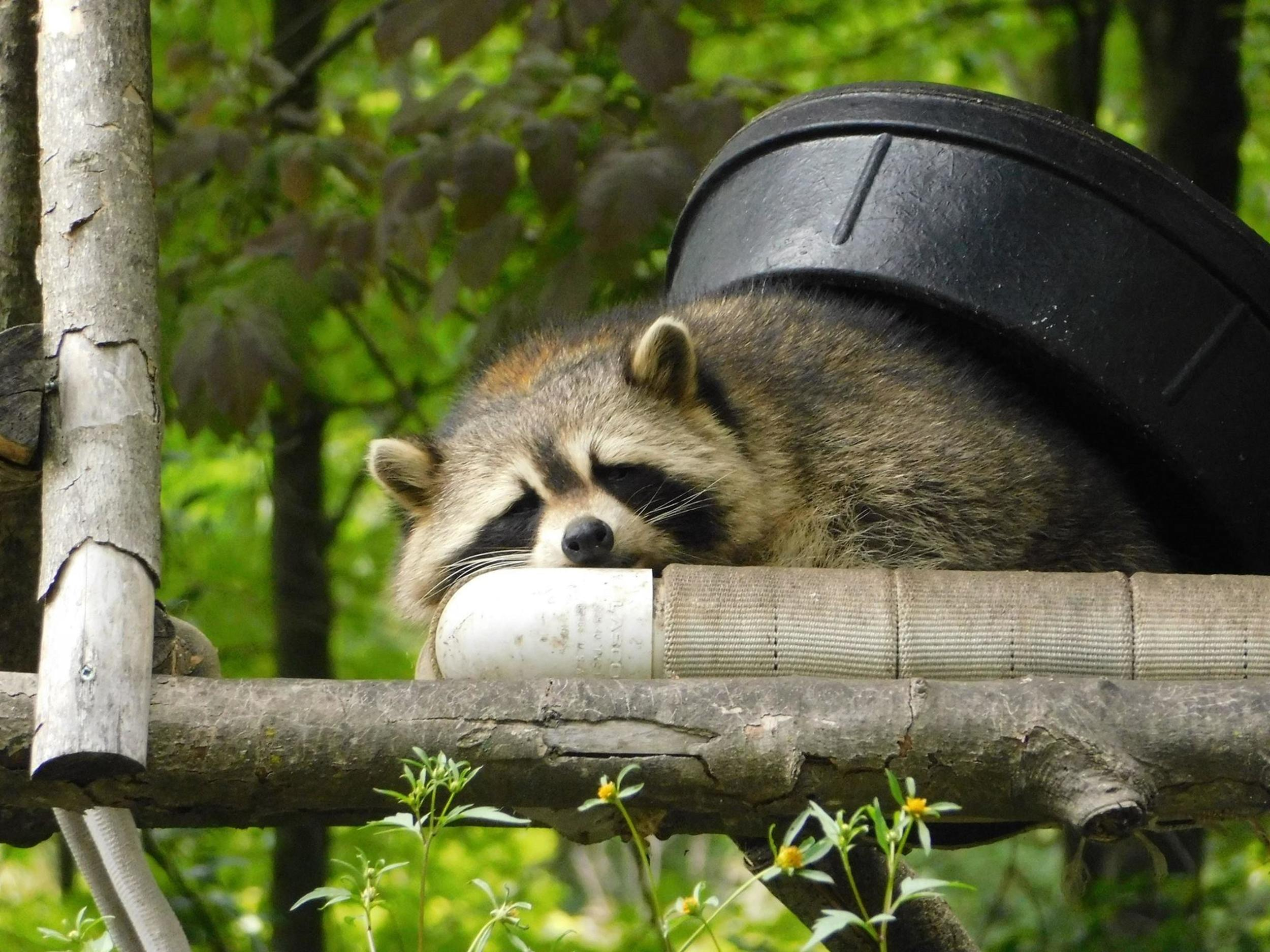 Three Tips On How To Deter Raccoons Nite Guard