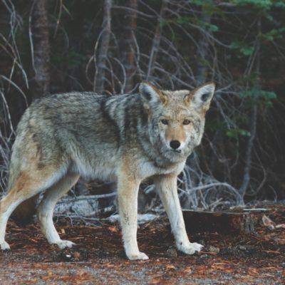 Coyote Kill Style