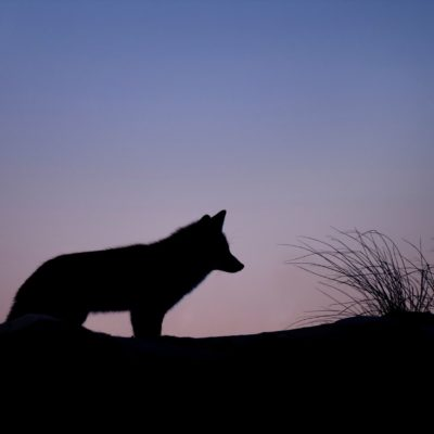 What to Do If Coyotes Are Near Your House