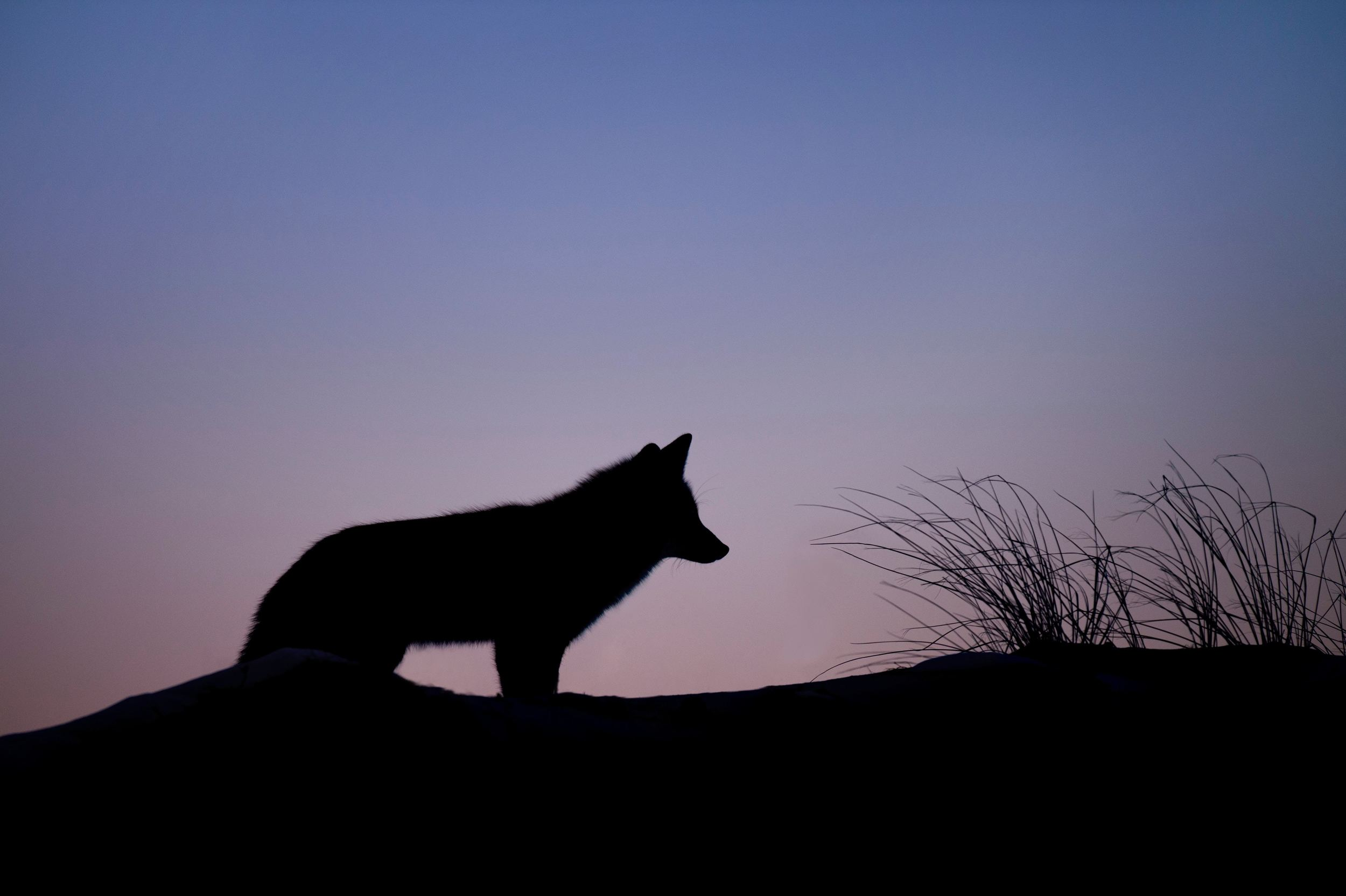Fox silhouetted against twilight sky