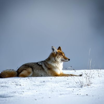 Coyote sitting on snow in the winter