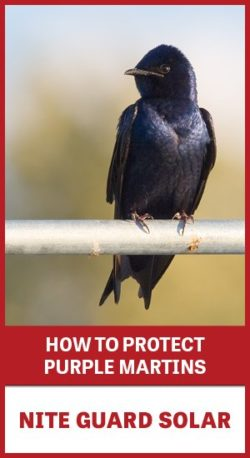 "Purple Martin sitting on a branch with text ""How to Protect Purple Martins: Nite guard Solar"""