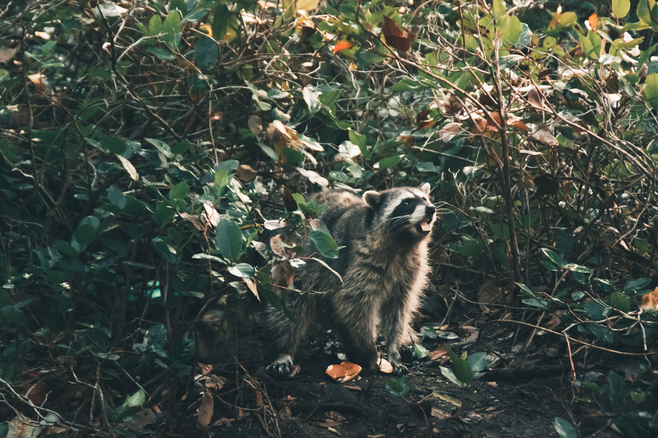 Raccoon in bushes