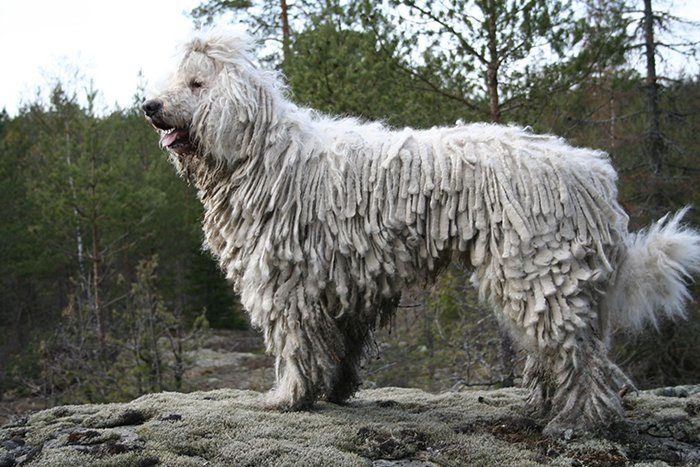 Komondor: Guarding Dog Breeds