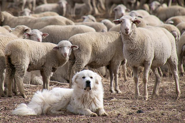 Great Pyrenees: Guarding Dog Breeds
