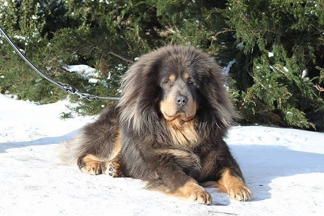 Tibetan Mastiff: Guarding Dog Breeds