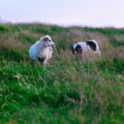 Sheep in Field - Guardian Dogs' Job