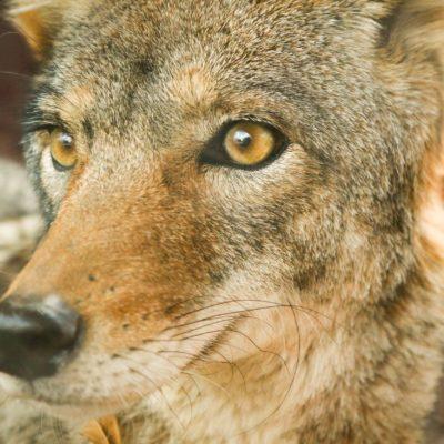 Coyote Deterrent