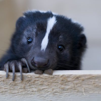 Keep Skunk Out of Your Yard