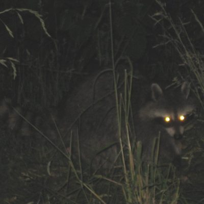 Raccoon's glowing eyes at night: Nocturnal Hunt