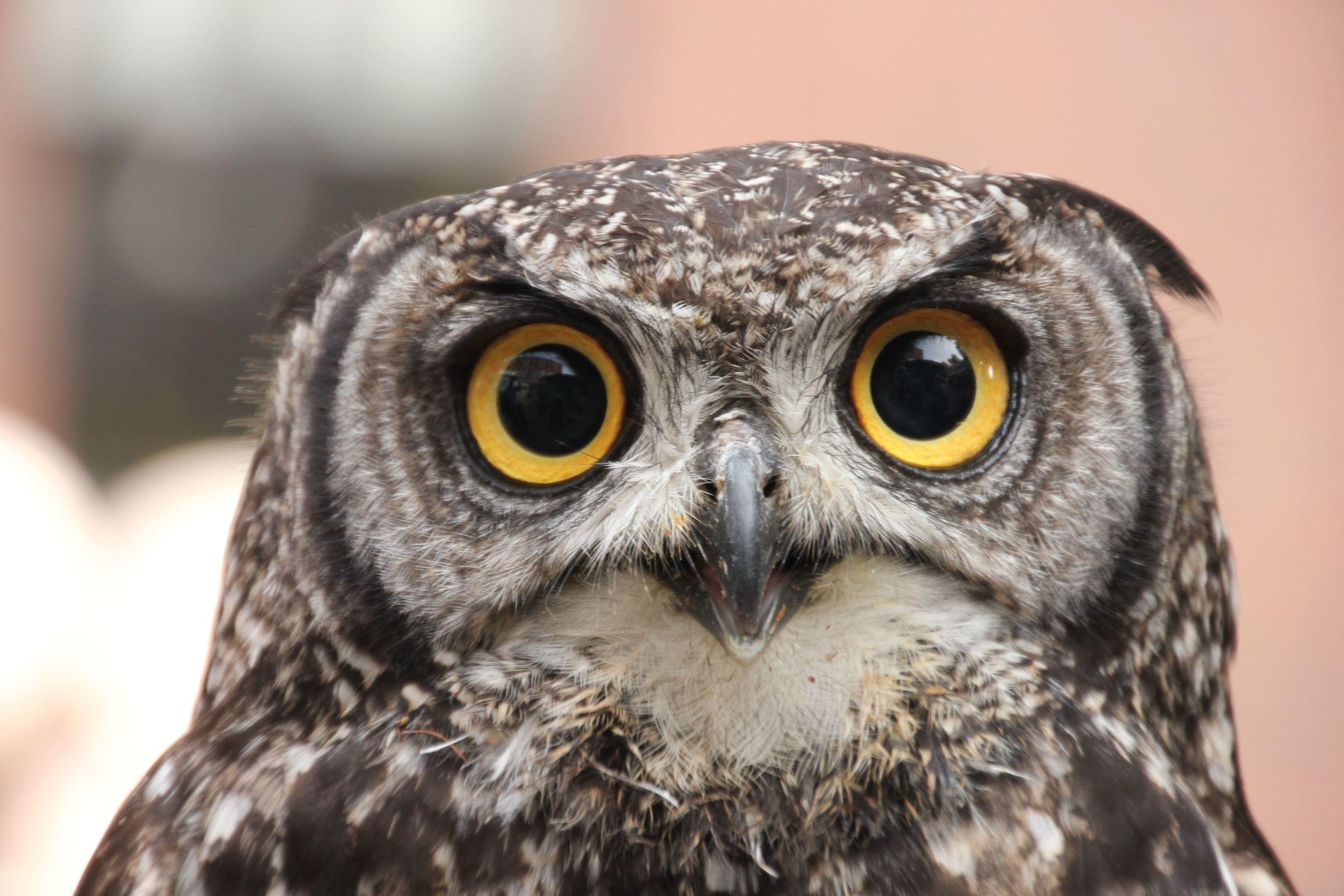 Owl with big eyes