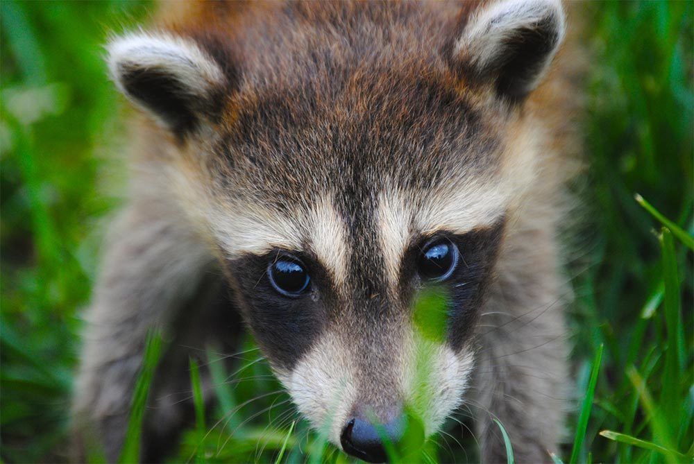 Raccoon - Image for Keep Raccoons out of your Garden article