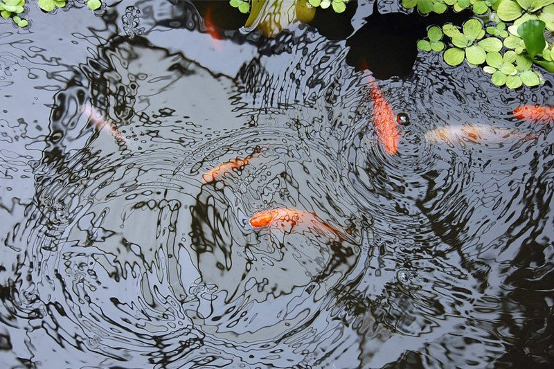 Fish Pond - Protect Fish from Raccoons