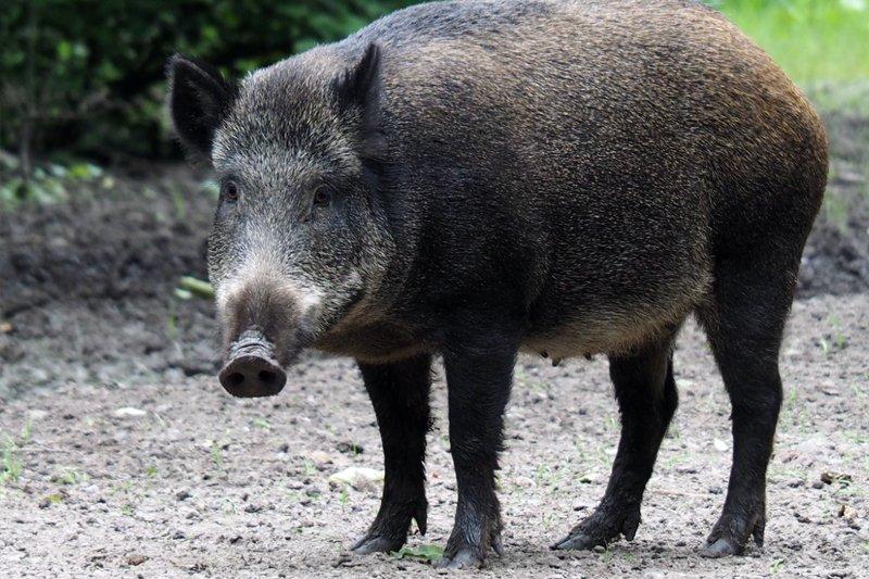 Wild Boar, Wild Pig