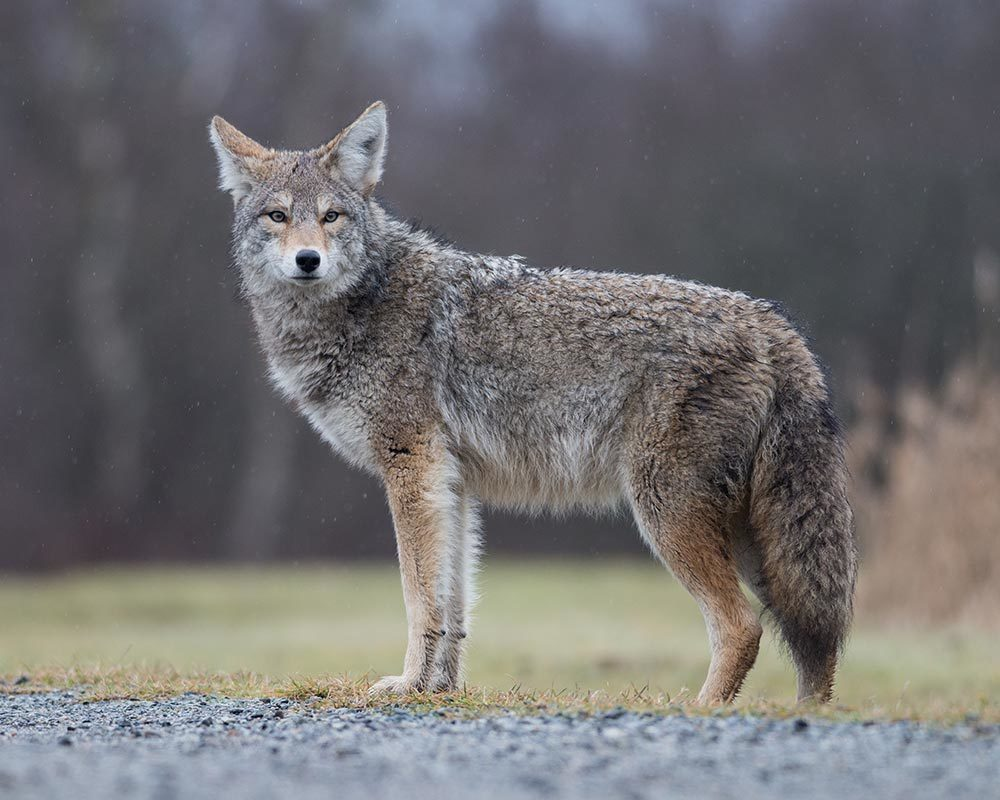 4 Effective Methods of Scaring Away Coyotes thumbnail