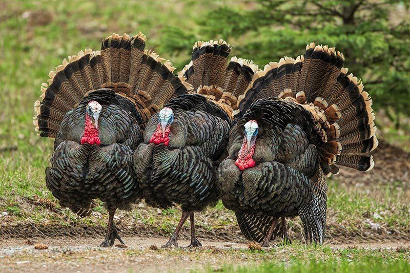How to Deter Turkeys: 5 Humane, Wild Turkey-Friendly Tips thumbnail