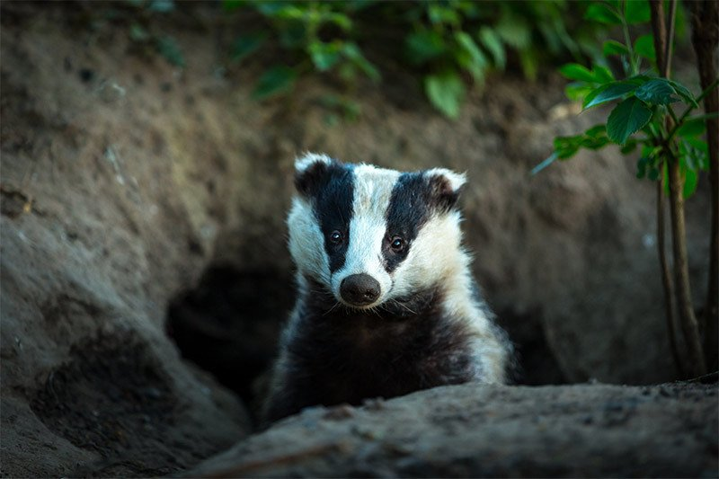 How to Deter Badgers From Your Property thumbnail