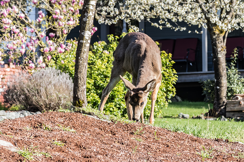 3 Tips on How to Protect Plants from Deer This Spring thumbnail
