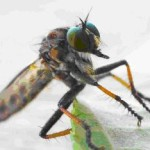 Picture of a bug - Scott's