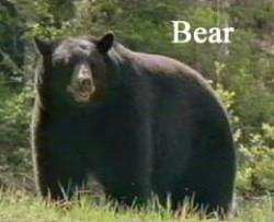 bear17